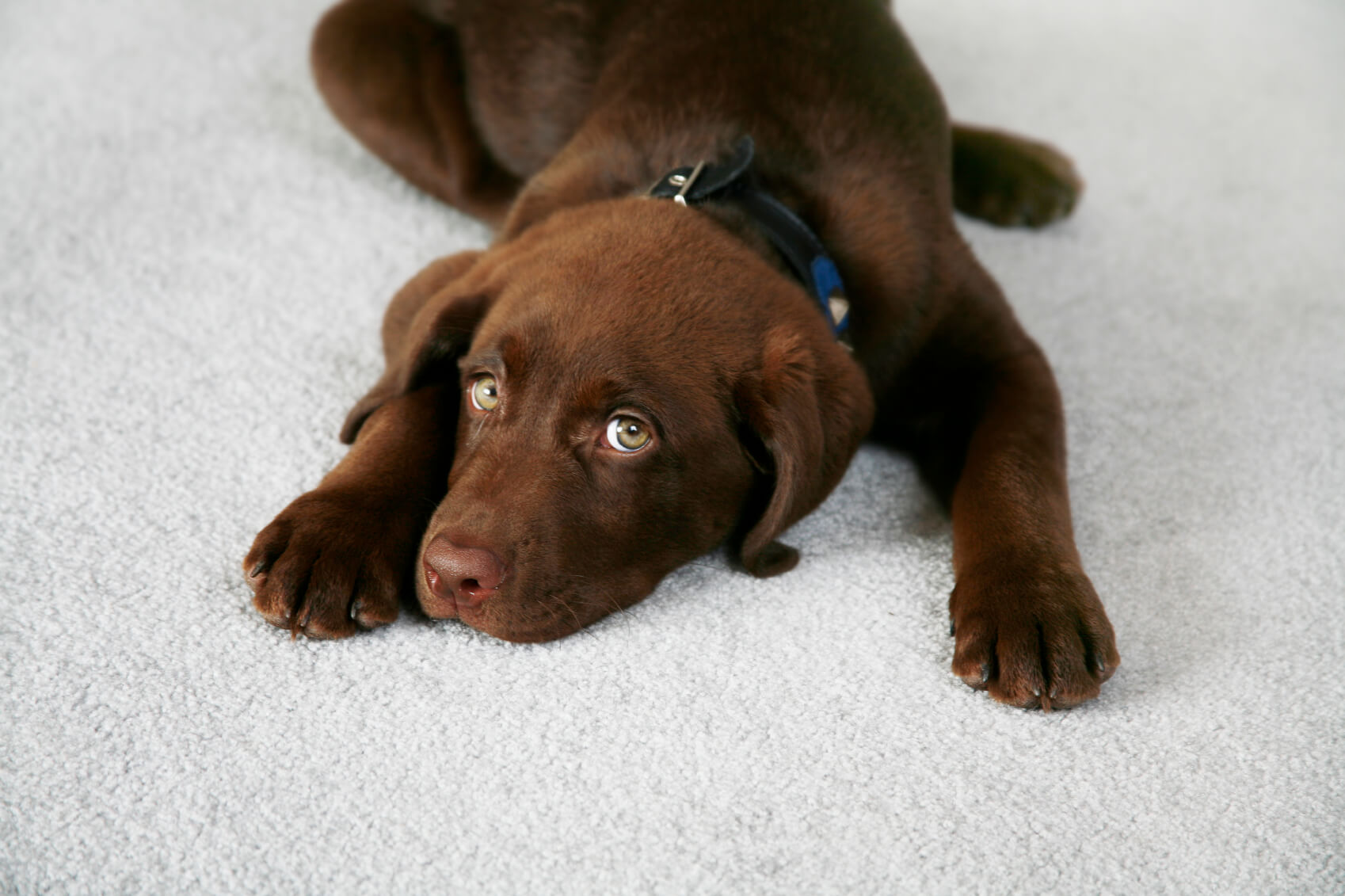 pet stain removal on rug